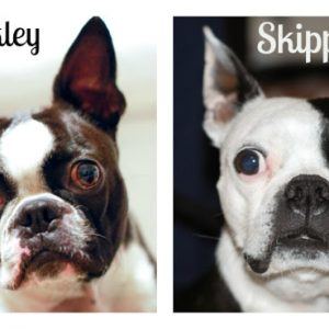 Buckley and Skipper : The Story Of Our Boston Terriers