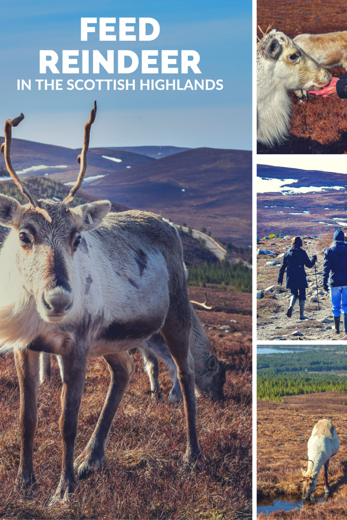 Feed Reindeer in the Scottish Highlands. Things to do while in Scotland.