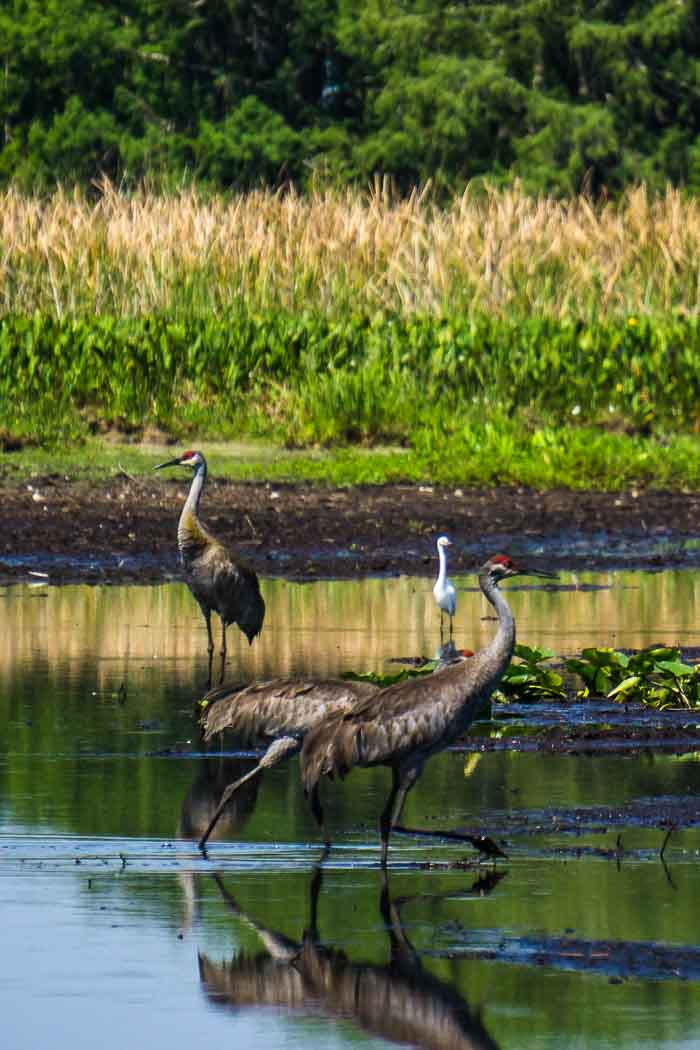 Sand Hill Cranes in the Everglades