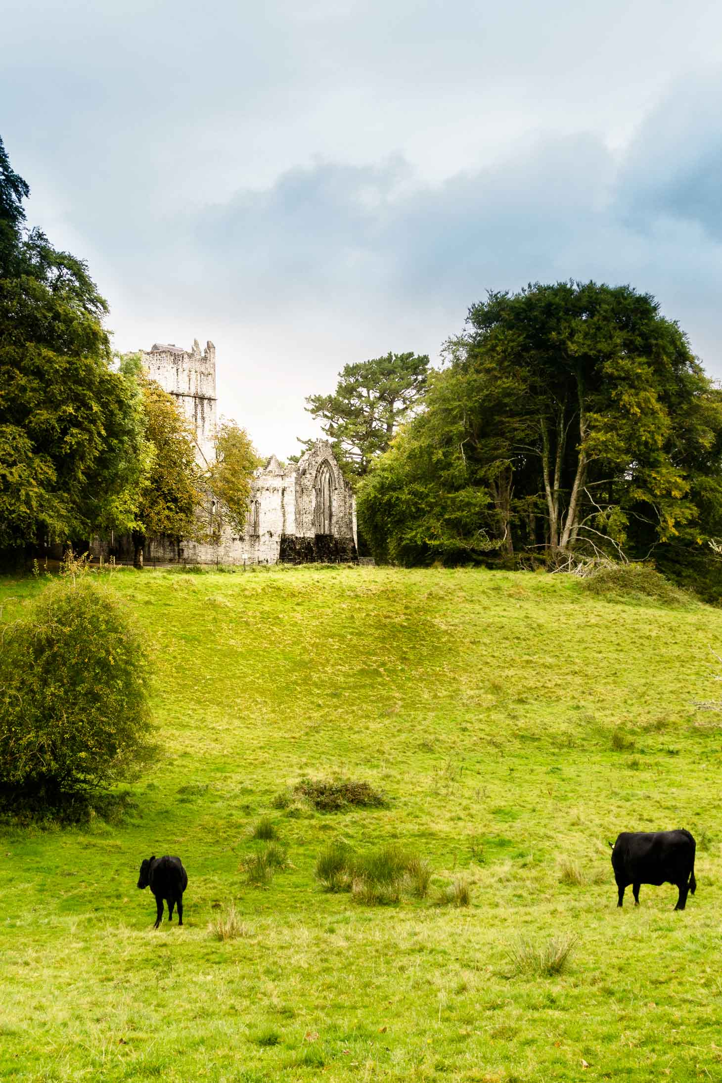 Kerry cows outside Muckross Abbey while hiking in Killarney National Park