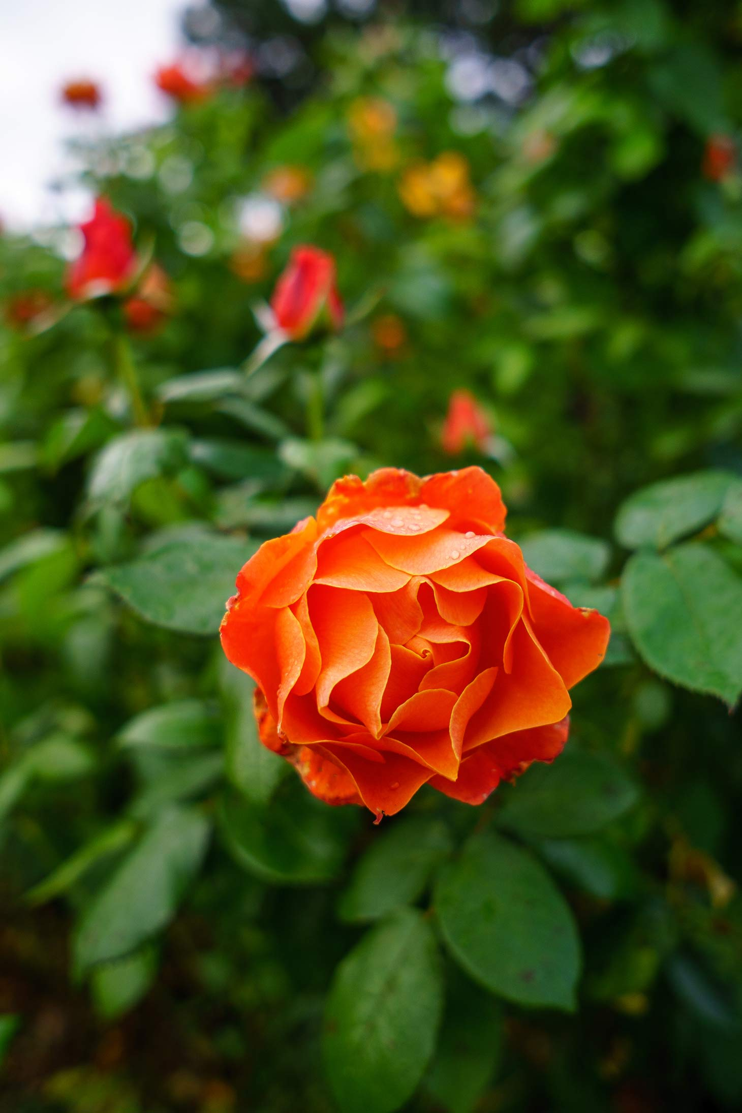 Coral colored rose in The Green or Tralee Town Park Rose Garden