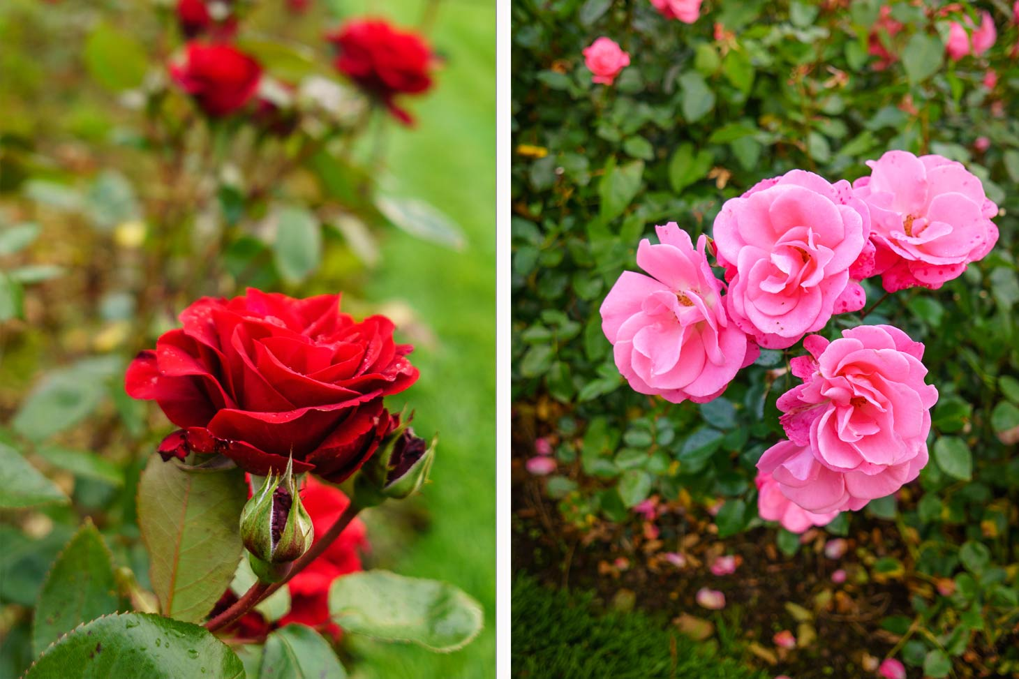 roses in Tralee Town Park Rose Garden