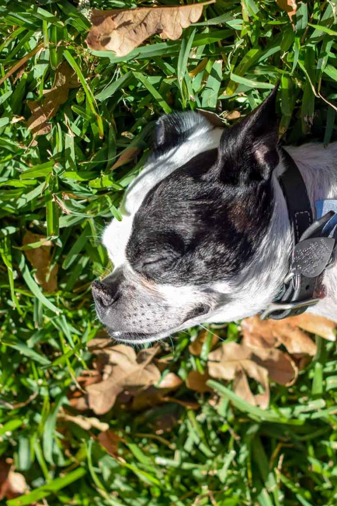 Jack Russell and Boston Terrier mix taking a nap in the grass among leaves